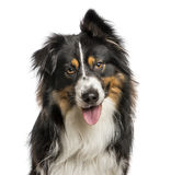 Close-up of Australian Shepard with one ear up. 4 years old, Isolated on white Royalty Free Stock Photography