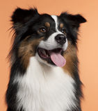 Close-up of Australian Shepherd, 2 years old Royalty Free Stock Image