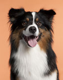 Close-up of Australian Shepherd, 2 years old Royalty Free Stock Photos