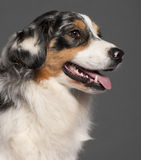 Close-up of Australian Shepherd Royalty Free Stock Images