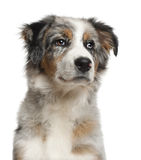 Close up of Australian Shepherd, 5 months old Royalty Free Stock Photography