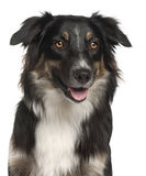 Close-up of Australian Shepherd dog, 1 year old Stock Image