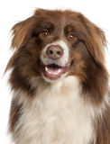 Close-up of Australian Shepherd dog Royalty Free Stock Photo