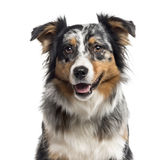 Close up of an Australian Shepherd isolated on white Stock Photography