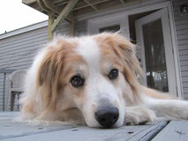 Close-up of Australian Shepherd lying on deck. A close-up of an Australian Shepherd dog lying down on a wooden deck looking straight into the camera Stock Image