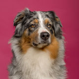 Close-up of an Australian Shepherd Royalty Free Stock Images