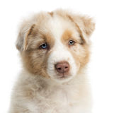 Close-up of an Australian Shepherd puppy Royalty Free Stock Image