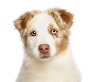 Close up of an Australian Shepherd puppy Stock Image