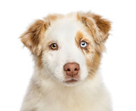 Close up of an Australian Shepherd puppy Royalty Free Stock Image