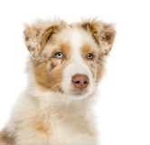 Close up of an Australian Shepherd puppy Stock Image