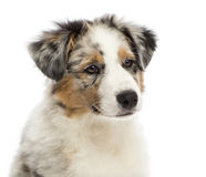 Close up of an Australian Shepherd puppy Royalty Free Stock Photos