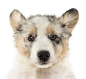 Close-up of an Australian Shepherd puppy Royalty Free Stock Images