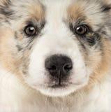 Close-up of an Australian Shepherd puppy Stock Photography