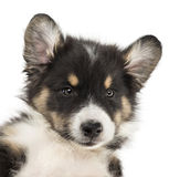 Close-up of an Australian Shepherd puppy Royalty Free Stock Photo