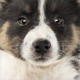 Close-up of an Australian Shepherd puppy Stock Photos