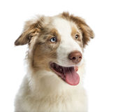 Close-up of an Australian shepherd puppy, 4 months old Royalty Free Stock Photo