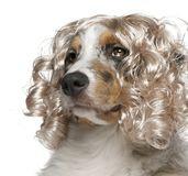 Close-up of Australian Shepherd puppy wearing a wig. 5 months old, in front of white background Royalty Free Stock Photo