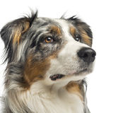 Close-up of a Australian Shepherd,1,5 years old Stock Photography