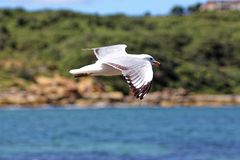 Silver gull flying at rocky coast Stock Photography