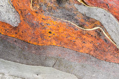 Close up of Australian Snow Gum trunk. Red, grey and beige colours Stock Photos