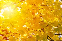 Close up of autumn colorful leaves as a background. Background of autumn yellow leaves. Fall backdrop with swinging bright yellow, red and orange tree leaves stock photo