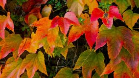 Close up of autumn fence of red ivy leaves. Close up of beautiful autumn fence of red ivy leaves stock footage