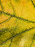 Close up on a autumn leaf Royalty Free Stock Photo