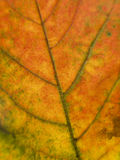 Close up on a autumn leaf Stock Photo