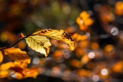 Close up of autumn leaf Royalty Free Stock Images