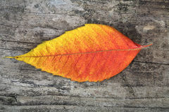Close-up of autumn leaf - studo shot Royalty Free Stock Images