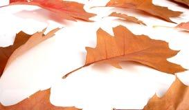 Close-up of autumn leaf - studo shot Stock Photo