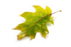 Close-up of autumn leaf - studo shot Royalty Free Stock Photo