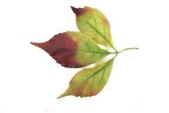 Close-up of autumn leaf - studo shot Stock Photography
