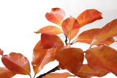 Close-up of autumn leaf - studo shot Royalty Free Stock Images