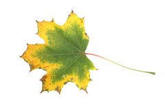 Close-up of autumn leaf - studo shot Stock Image