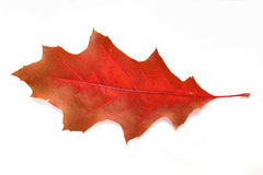Close-up of autumn leaf - studo shot Royalty Free Stock Image