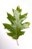 Close-up of autumn leaf - studo shot Royalty Free Stock Image