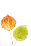 Close-up of autumn leaf - studo shot Stock Images