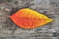 Close-up of autumn leaf - studo shot Royalty Free Stock Photography