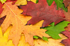 Close up of  autumn leaves Royalty Free Stock Photos