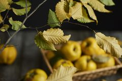 Close up autumn leaves with apple quince. A lot of apple quince  on dark wooden background Stock Images