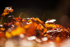Close-up of autumn leaves Royalty Free Stock Image