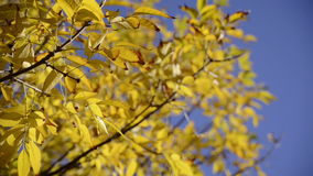 Close up autumn leaves over blue sky background. Warm colors moving autumn leaves close up over bright blue sky. Full HD 1920x 1080 video stock video footage