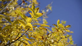 Close up autumn leaves over blue sky background stock footage