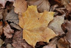 Close-up of autumn maple leaf in soft focus on the background royalty free stock photos