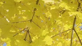 Close-up of autumn maple tree stock video footage