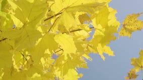 Close-up of autumn maple tree stock video