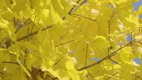 Close-up of autumn maple tree stock footage