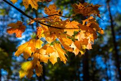 Close up of autumnal maple tree branches Stock Photography