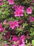 Azaleas Everywhere royalty free stock photos
